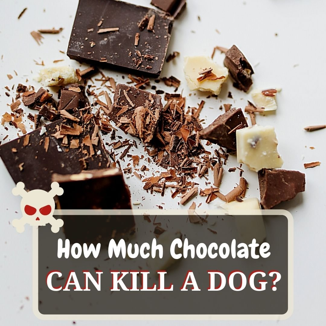 how much chocolate can kill dog