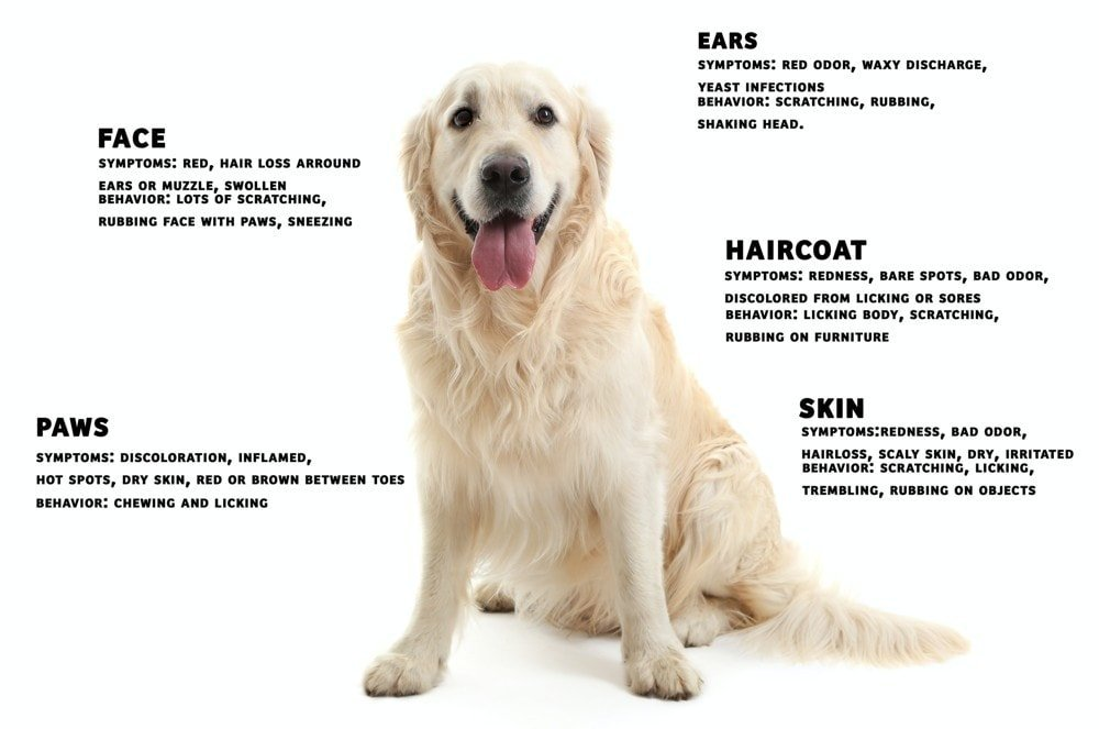 dog allergies symptoms