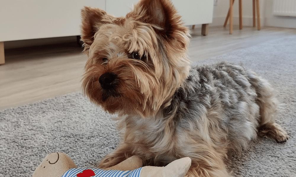 yorkie dog playing