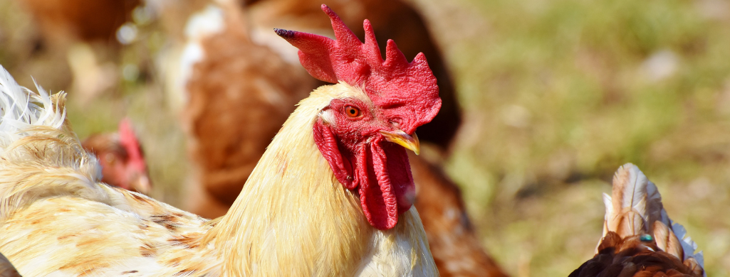 chicken closeup