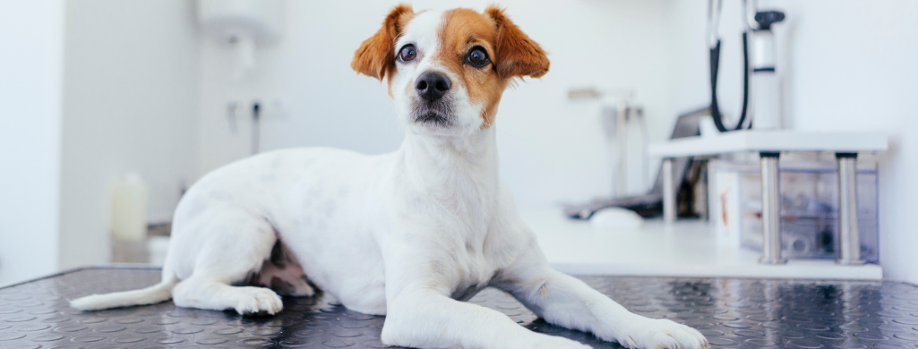 dog waiting at the vet