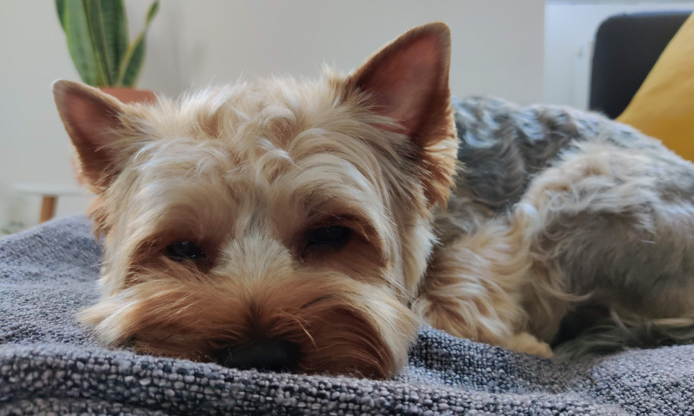 yorkie dog sleeping