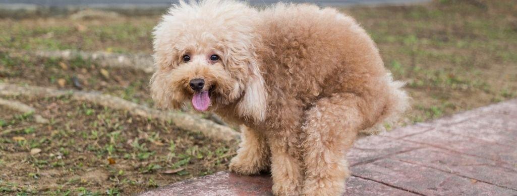 poodle dog pooping