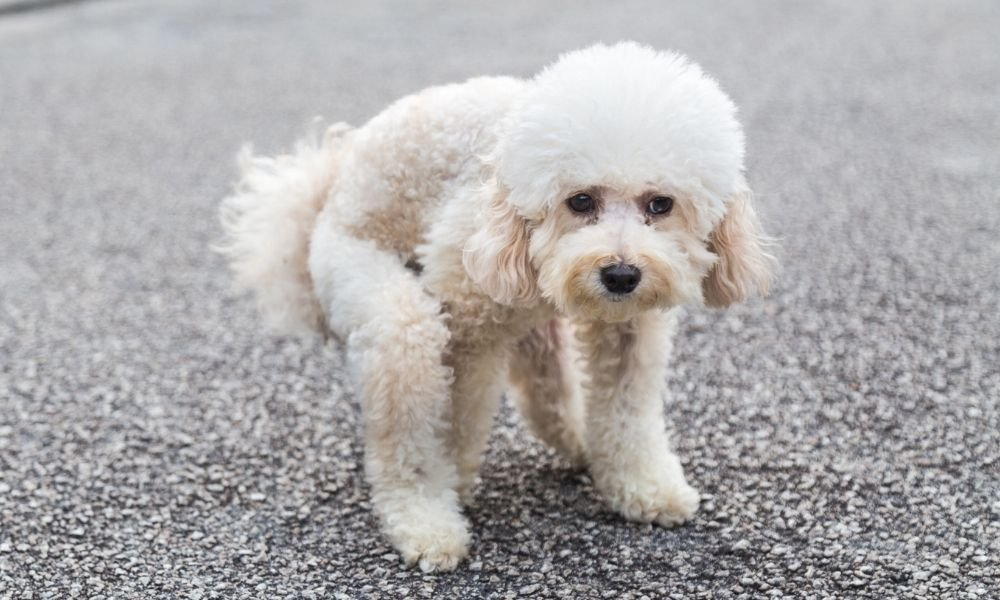 white poodle pooping