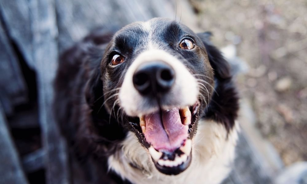 white border collie dog
