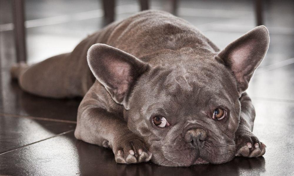 french bulldog sleeping