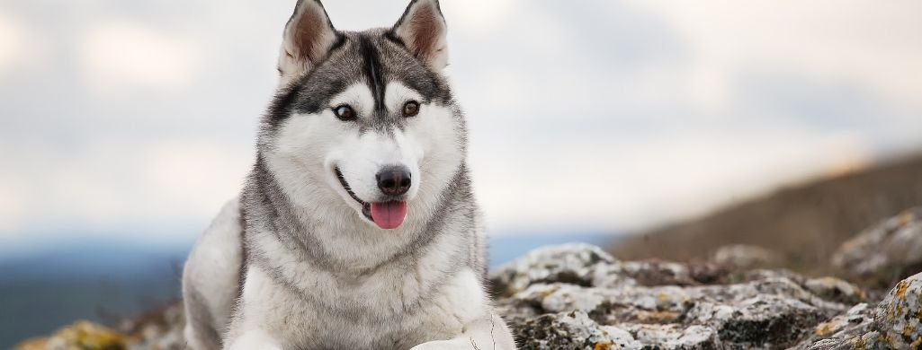 huskie dog