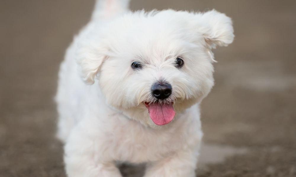 maltese dog happy