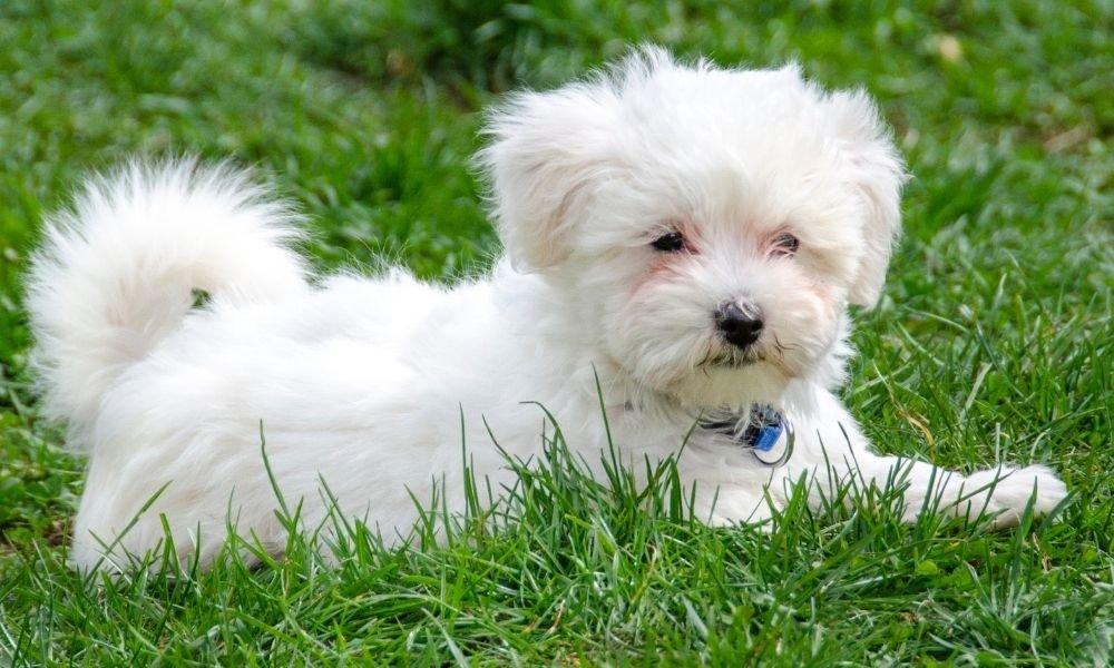 maltese puppy on grass