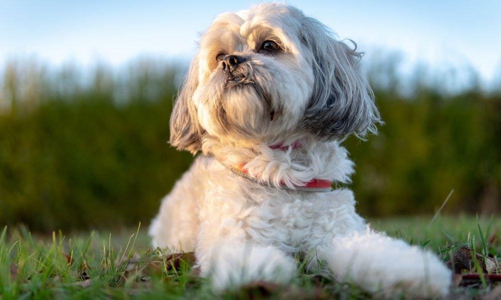 shih tzu dog outdoor