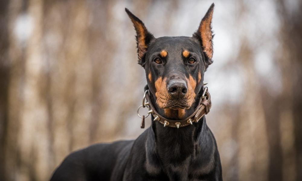 doberman dog close
